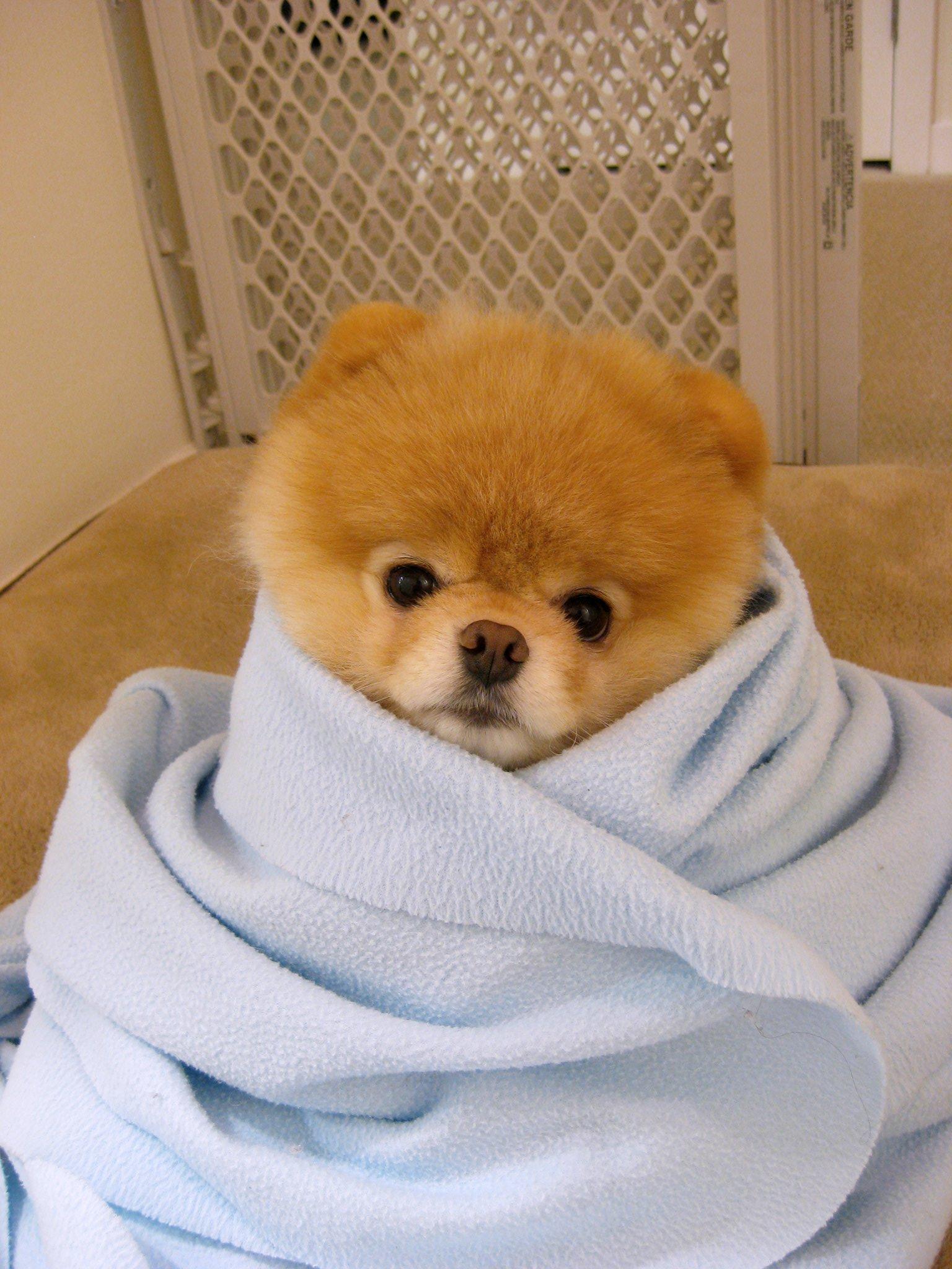 Boo The Worlds Cutest Dog Flora Waardahl